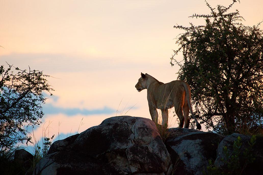 bigstock-Female-lion-on-rocks-at-sunset-41562310