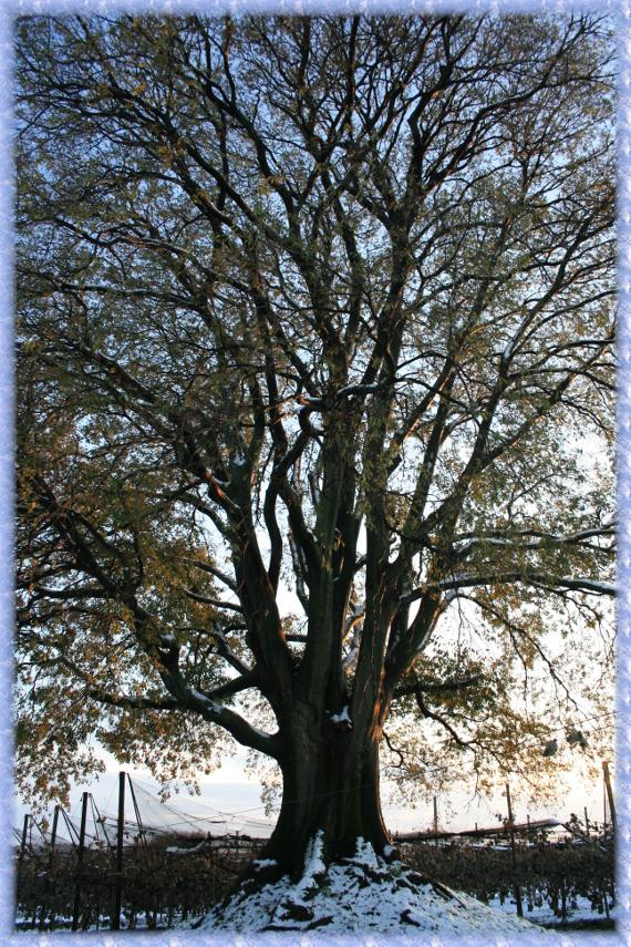 il-bagolaro-in-inverno