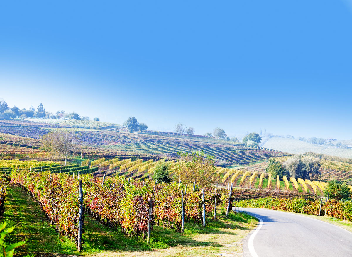 VineyardgrapeharvestinItalyPiedmont.